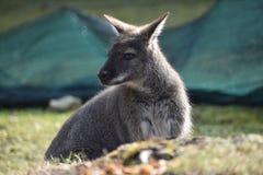 Nahaufnahme eines netten braunen Kängurus, der auf einer grünen Wiese sitzt Stockfotografie