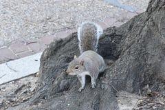 Nahaufnahme eines netten Eichhörnchens, das in einem Park auf einem Baumast in Washington an einem sonnigen Frühlingstag sitzt Lizenzfreies Stockfoto