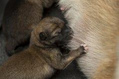 Nahaufnahme eines neugeborenen Welpen Shiba Inu Japaner Shiba Inu Hund stockbilder