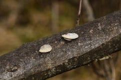 Nahaufnahme eines Paares Polyporus squamosus vermehrt sich explosionsartig Lizenzfreie Stockfotos