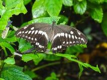 Nahaufnahme eines papilio constantinus Schmetterlinges auf einem Blatt stockfotografie