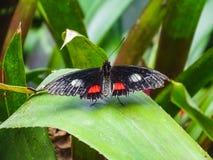 Nahaufnahme eines parides arcas Schmetterlinges auf einem Blatt stockfotos