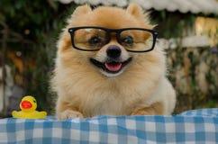 Nahaufnahme eines Pomeranian-Hundes, der auf Gras sitzt Lizenzfreies Stockbild