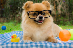 Nahaufnahme eines Pomeranian-Hundes, der auf Gras sitzt Stockfotografie