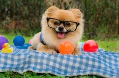 Nahaufnahme eines Pomeranian-Hundes, der auf Gras sitzt Stockfoto