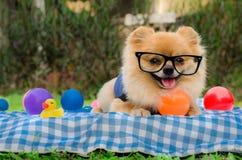 Nahaufnahme eines Pomeranian-Hundes, der auf Gras sitzt Stockbilder