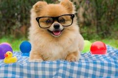 Nahaufnahme eines Pomeranian-Hundes, der auf Gras sitzt Lizenzfreie Stockbilder