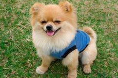Nahaufnahme eines Pomeranian-Hundes, der auf Gras sitzt Stockfotos