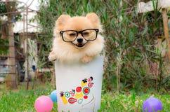 Nahaufnahme eines Pomeranian-Hundes im Behälter auf Gras Stockfoto