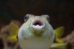 Nahaufnahme eines Puffer-Fisches Stockbild