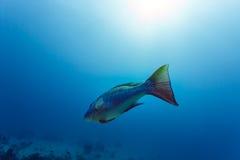 Nahaufnahme eines Regenbogens färbte Fischschwimmen im tropischen Wasser Stockbilder