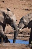Nahaufnahme eines reizenden Elefantpaares an einem waterhole in Addo Elephant Park in Colchester, Südafrika Stockfoto