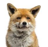 Nahaufnahme eines roten Fuchses, Vulpes Vulpes Lizenzfreie Stockfotos