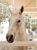 Nahaufnahme eines schönen beschmutzten arabischen Pferds Lizenzfreie Stockbilder