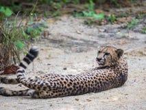 Nahaufnahme eines schönen Gepard Acinonyx jubatus Lizenzfreie Stockfotografie