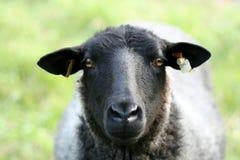 Nahaufnahme eines Schafs. Stockfotos