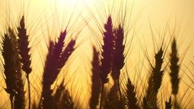 Nahaufnahme eines Schattenbildes des Weizens auf einem Gebiet auf einem Sonnenunterganghintergrund Bearbeitung und Ernten stock video footage