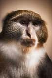 Nahaufnahme eines Schimpansen, der die Kamera betrachtet Lizenzfreie Stockfotografie