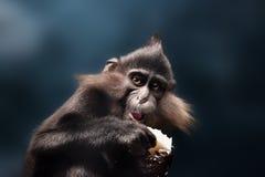 Nahaufnahme eines Schimpansen, der die Kamera betrachtet Lizenzfreie Stockbilder