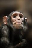 Nahaufnahme eines Schimpansen, der die Kamera betrachtet Stockfotos