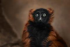 Nahaufnahme eines Schimpansen, der die Kamera betrachtet Lizenzfreie Stockfotos