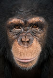 Nahaufnahme eines Schimpansen, Pan-Höhlenbewohner Lizenzfreies Stockbild