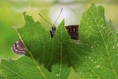 Nahaufnahme eines Schmetterlinges gehockt auf einem Blatt lizenzfreie stockfotos