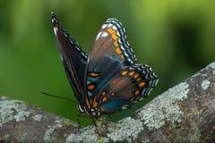 Nahaufnahme eines Schmetterlinges gehockt auf einem Blatt lizenzfreie stockfotografie
