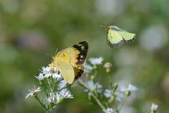 Nahaufnahme eines Schmetterlinges und der Blume stockfoto