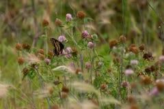 Nahaufnahme eines Schmetterlinges und der Blume stockfotografie