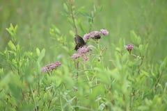 Nahaufnahme eines Schmetterlinges und der Blume lizenzfreies stockfoto