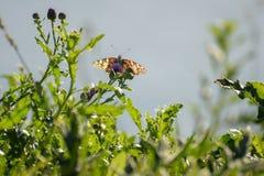 Nahaufnahme eines Schmetterlinges und der Blume lizenzfreies stockbild