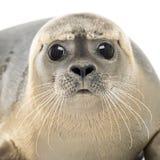 Nahaufnahme eines Seehunds, der die Kamera, Phoca vitulina betrachtet Stockbild