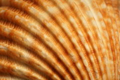 Nahaufnahme eines Seeshells Stockbild