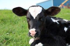 Nahaufnahme eines sehr neugeborenen Holstein-Kalbs, das auf dem Gebiet betrachtet die Kamera legt stockfotos