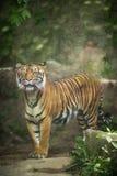 Nahaufnahme eines sibirischen Tigers Lizenzfreies Stockbild
