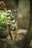 Nahaufnahme eines sibirischen Tigers Stockfotografie