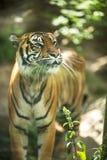 Nahaufnahme eines sibirischen Tigers Lizenzfreie Stockfotos