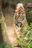 Nahaufnahme eines sibirischen Tigers Stockfoto