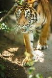 Nahaufnahme eines sibirischen Tigers wissen auch als Amur-Tiger Lizenzfreie Stockbilder