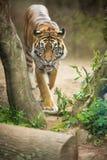 Nahaufnahme eines sibirischen Tigers wissen auch als Amur-Tiger Stockfotos