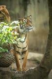 Nahaufnahme eines sibirischen Tigers wissen auch als Amur-Tiger Stockbild