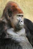 Nahaufnahme eines Silverback Gorillas Lizenzfreies Stockfoto