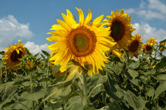 Nahaufnahme eines Sonnenblumenfelds Lizenzfreie Stockfotografie
