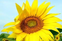 Nahaufnahme eines Sonnenblumenkopfes stockfotos
