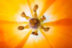 Nahaufnahme eines Sun-Sternes (Lat Ornithogalum Dubium) Lizenzfreie Stockbilder