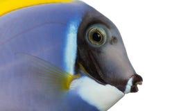 Nahaufnahme eines taubenblauen Geruchprofils, Acanthurus leucosternon Stockbild