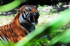 Nahaufnahme eines Tigers Lizenzfreie Stockfotografie