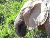 Nahaufnahme eines Trinkwassers des Elefanten Lizenzfreie Stockfotografie