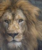 Nahaufnahme eines verärgerten männlichen Löwes - intensive Augen stockfotos